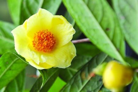 名贵茶花品种欣赏